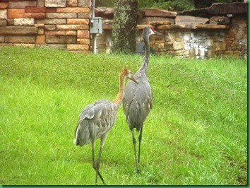 Sand Hill Cranes at Walgreens 008A