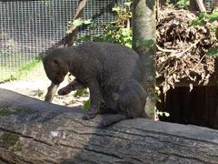 2007.09.14-014 jaguarondi