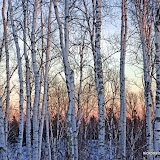 Northwoods Birch / Late afternoon light in January