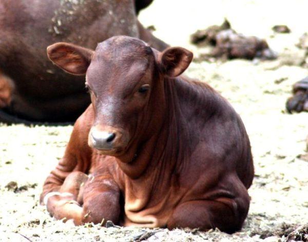 watusi-calf