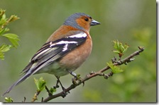 chaffinch by Ian Ross