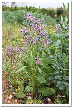 planta borratja2