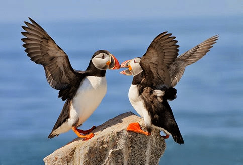 Amazing Pictures of Animals, Photo, Nature, Incredibel, Funny, Zoo, Puffins, Bird, Aves, Alex (24)