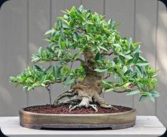 ficus-bonsai