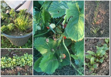 Herbs, radish, lettuce, beets, onions strawberries