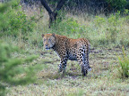 Big male leopard we saw on the 2nd morning.