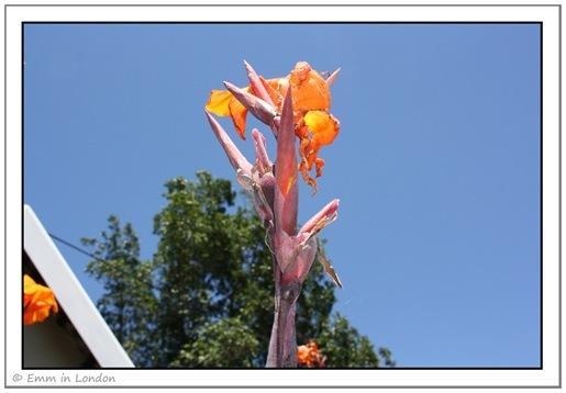 Orange Iris 25 December
