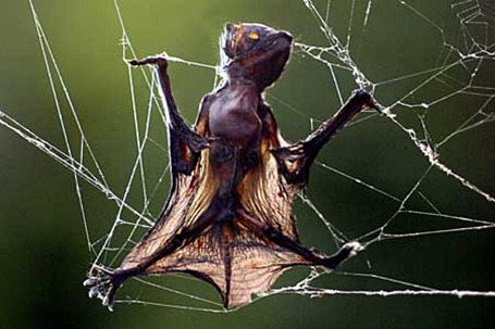 spider caught bat