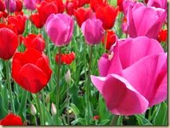 Tulip Festival 057