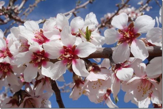 Amendoeiras-em-Flor-495x330