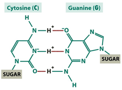 cytosine and guanine