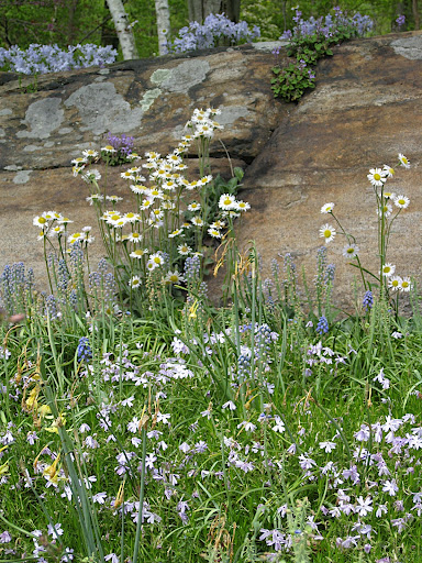 A rock outcrop anchors a meadowy planting of blue and white. It looks natural, but don't be fooled - there is a very crafty gardener behind this!