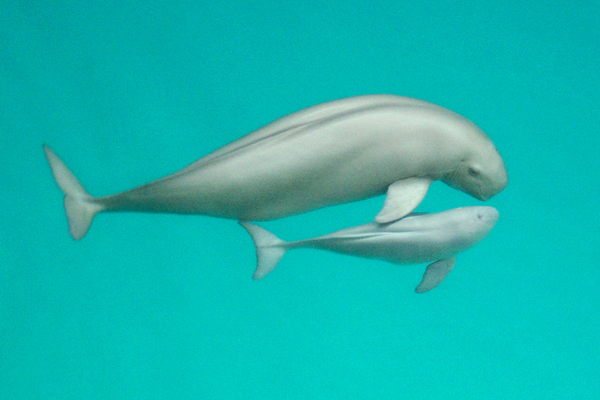 The Yangtze finless porpoise (Neophocaena asiaeorientalis asiaeorientalis) has been declared Critically Endangered by IUCN. Photo by: Xiaoqiang Wang