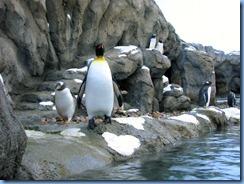 0101 Alberta Calgary - Calgary Zoo Penguin Plunge - King penguin & Gentoo penguins