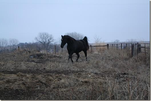horses 135