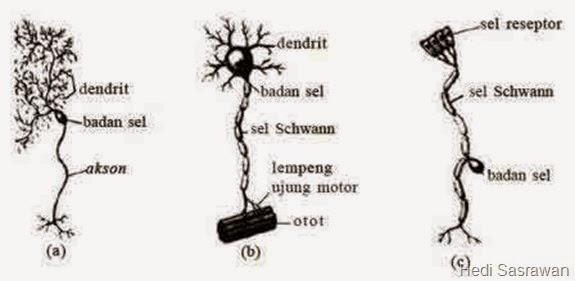 Jenis-jenis neuron