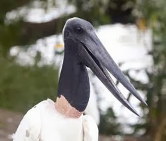 Amazing Pictures of Animals, Photo, Nature, Incredibel, Funny, Zoo, Jabiru mycteria, Bird, Aves, Alex (17)