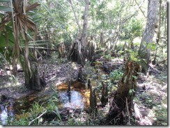 Interesting Roots & Big Cypress Knees