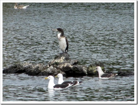 Pied Shag at Western Springs domain Auckland.