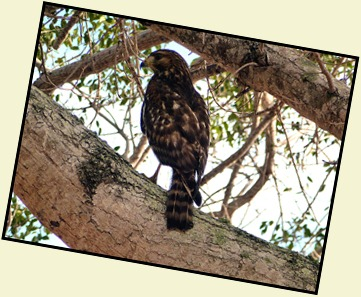 09b2 - Young Red Shoulder Hawk
