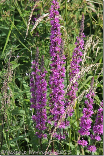 3-Purple-loosestrife