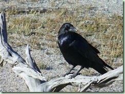 Day13Yellowstone Raven