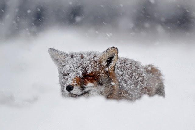 Fox_15