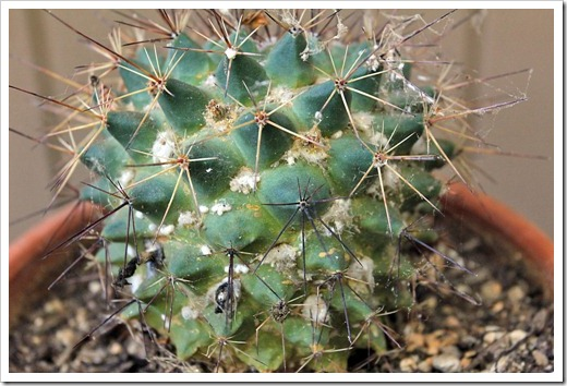 120713_Mammillaria-bocensis-with-mealy-bugs_01
