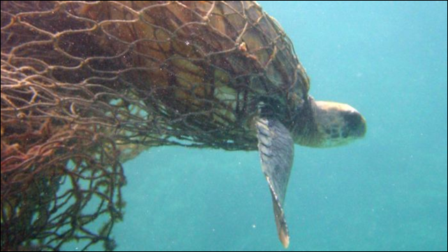 A Green Turtle ensnared in fishing nets off the Northwestern Hawaii Islands. Photo: Jacob Asher / National Oceanic and Atmospheric Administration / AP Photo