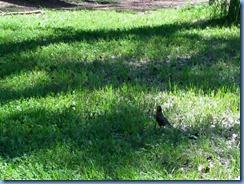 1677 Alberta Lethbridge - Helen Schuler Nature Centre - robin