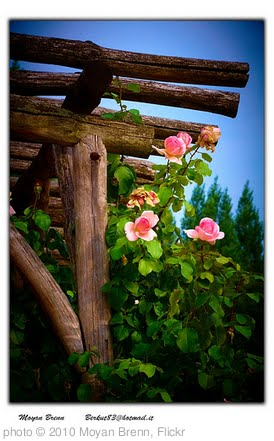 'Roses' photo (c) 2010, Moyan Brenn - license: http://creativecommons.org/licenses/by-nd/2.0/