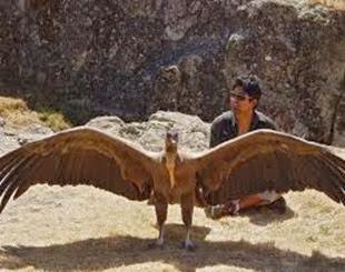 Amazing Pictures of Animals, Photo, Nature, Incredibel, Funny, Zoo, Andean Condor, Vultur gryphus, bird, Alex (4)