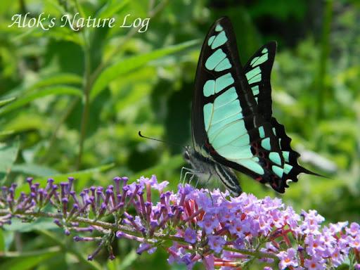 Papilionidae%25252c%252520graphium%252520cloanthus%25252c%252520glassy%252520bluebottle