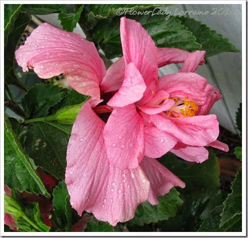 05-15-pink-hib