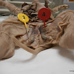 fetal_pig_epididymus.JPG