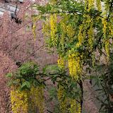 Cytise commun, Faux ébénier - Laburnum anagyroides