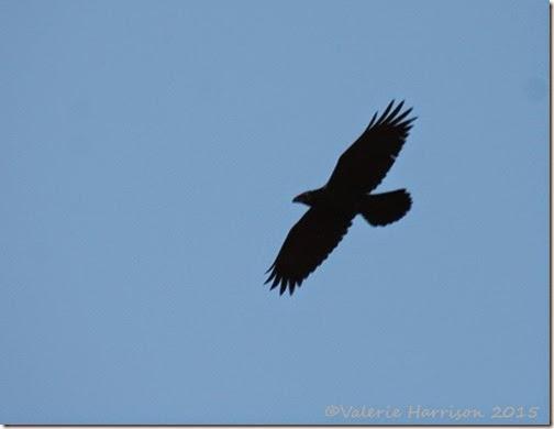 4-Raven
