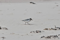 Luca_vanDuren_Little stint - Rackwick beach.JPG