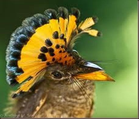 Amazing Animal Pictures Amazonian Royal Flycatcher (7)