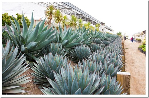 120929_SucculentGardens_Agave-Blue-Glow- -Blue-Flame_10