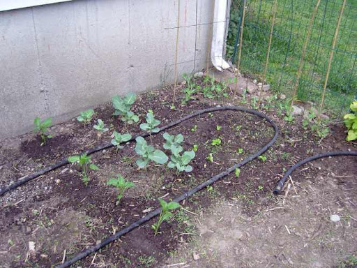 VEG - Peppers, Broccoli, Lettuce Peas - June 2008
