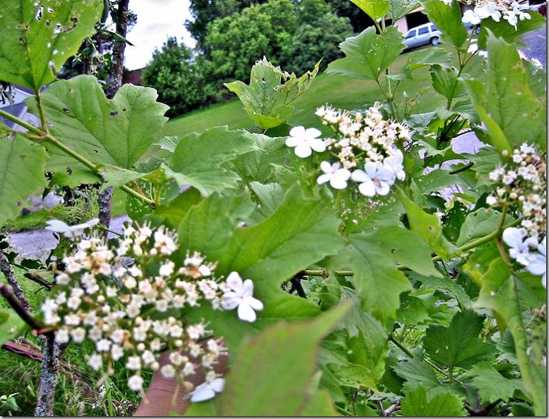 busk 2m hvit bl klatrehortensia lign-2