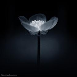 nicolasevariste flower