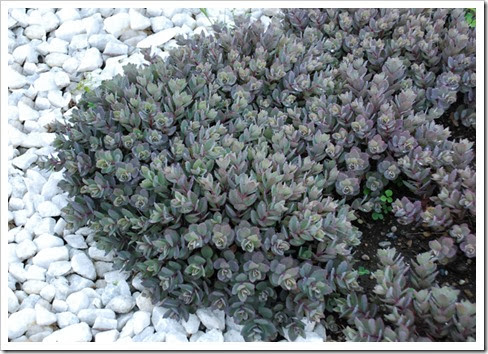 Sedum 'Dazzleberry' from Chris Hansen