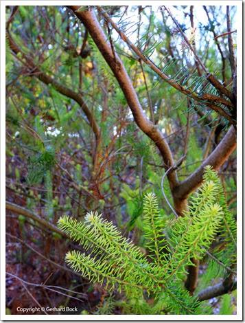 131124_UCD_Arboretum_AustralianCollection_Calothamnus-quadrifidus_01