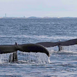 Diving humpback whales