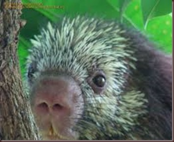 Amazing Pictures of Animals Porcupine (6)