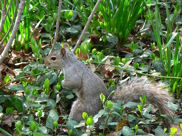 Imagini SUA: veverite in Central Park