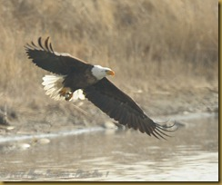 -Eagle catching fish_ROT6315  NIKON D3S February 17, 2012