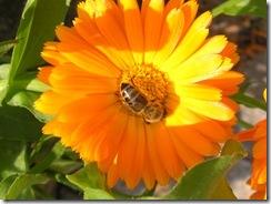 včely na květech 054